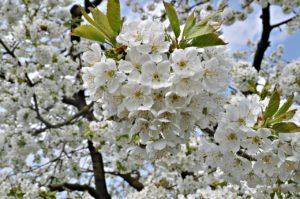 Белые цветы, дерево, сад