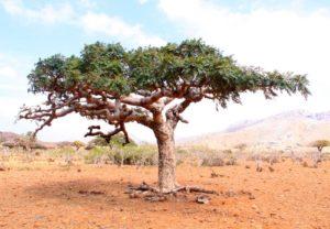 дерево, зеленая крона, сухая почва