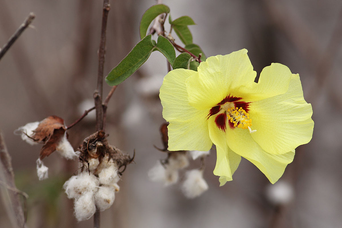 Хлопчатник цветок