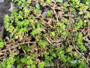стебли коричневого цвета, зеленые листья, почва