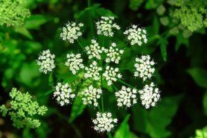 маленькие белые соцветия, зеленые листья