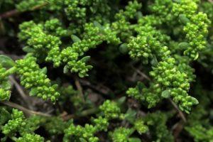 мелкие плотные зеленые листья