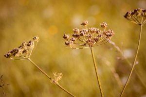 сухое растение, поле
