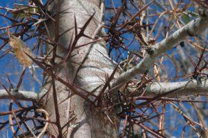 дерево, колючки