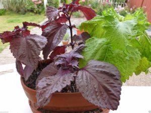 растение с бордовыми листьями в горшке