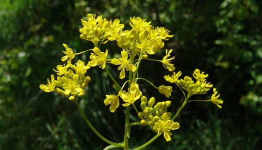мелкие желтые цветки