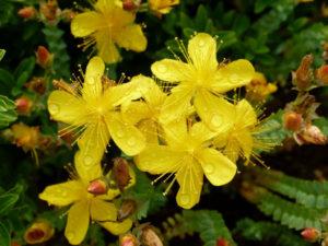 желтые цветы, роса, зеленые и сухие листья
