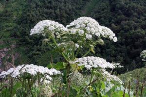 растение с большим количеством белых цветов
