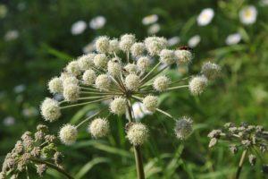 белые цветки, зонтичное растение