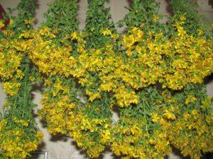 пучки растений с желтыми цветами