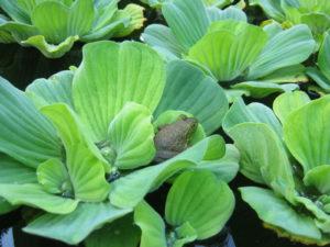 зеленые растения, лягушка
