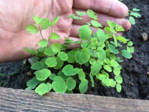 Рука, молодое растение