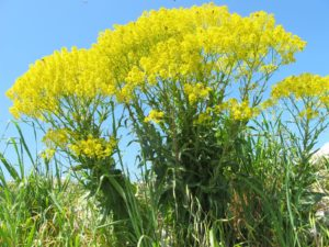 высокие желтые цветы, небо, поле