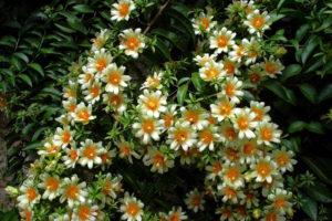 большой куст с белыми цветами