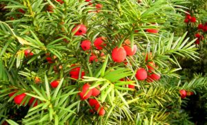 Красные плоды, зеленые листья
