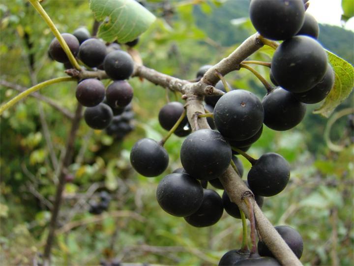 Плоды жостера