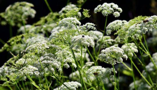 много мелких белых цветков, зеленые стебли, листья