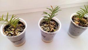 Черенки растения