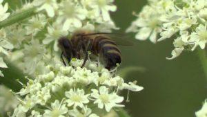 пчела, белые маленькие цветы