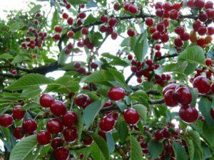 Вишни, дерево, ягоды