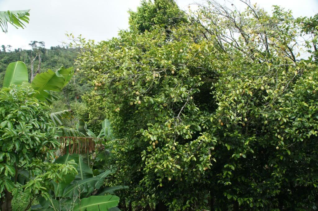Мускатниковое дерево
