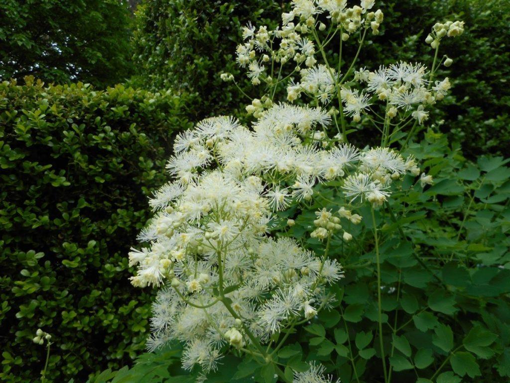 Белые цветы, зелень