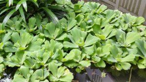 светло-зеленые лисья в на воде