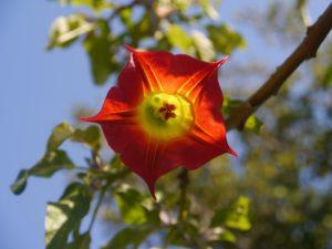 ветка, большой красно-желтый цветок, листья, небо