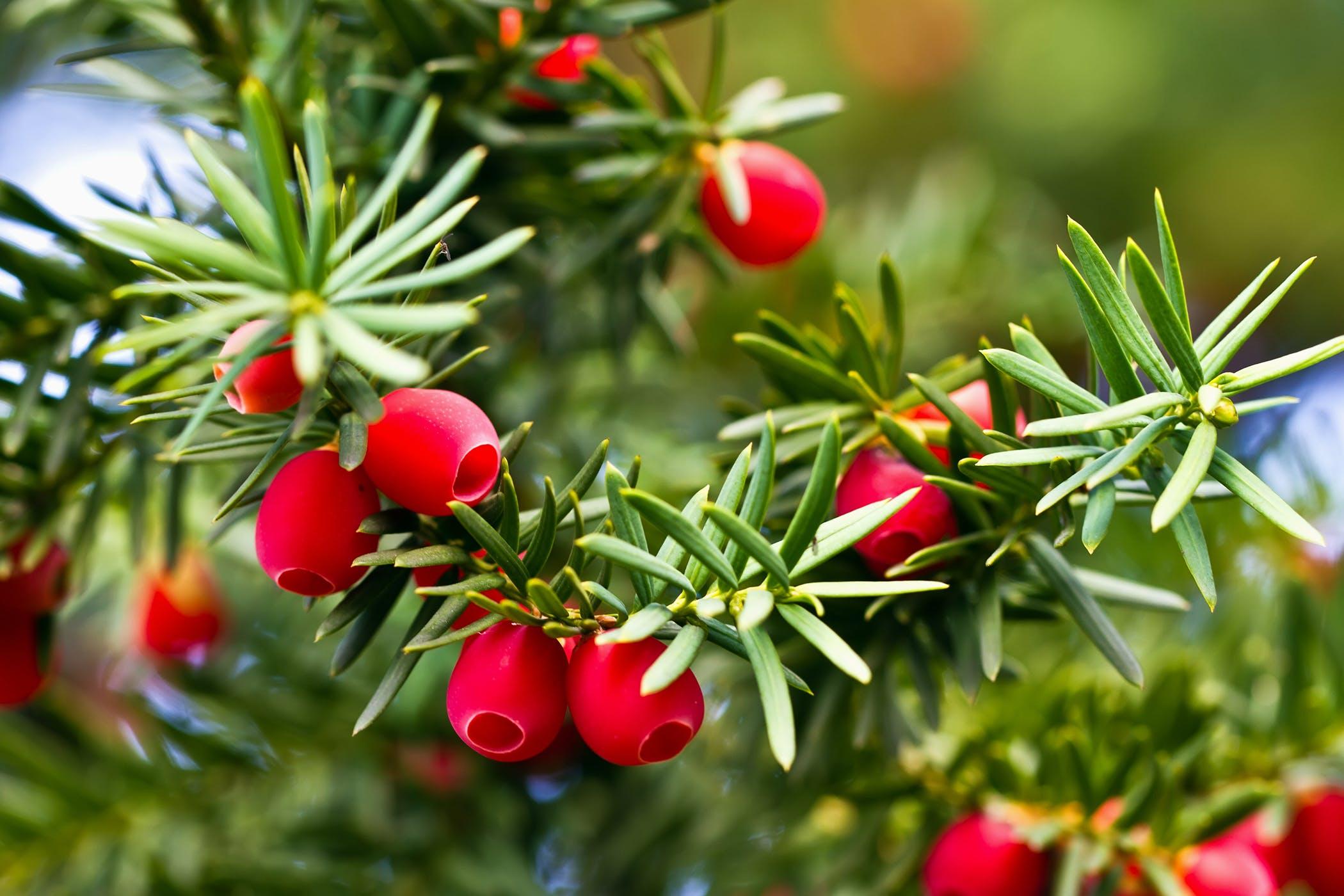 Дерево, листья зеленые, ягоды красные