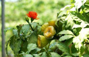 красный цветок, желтые плоды, зеленая листва