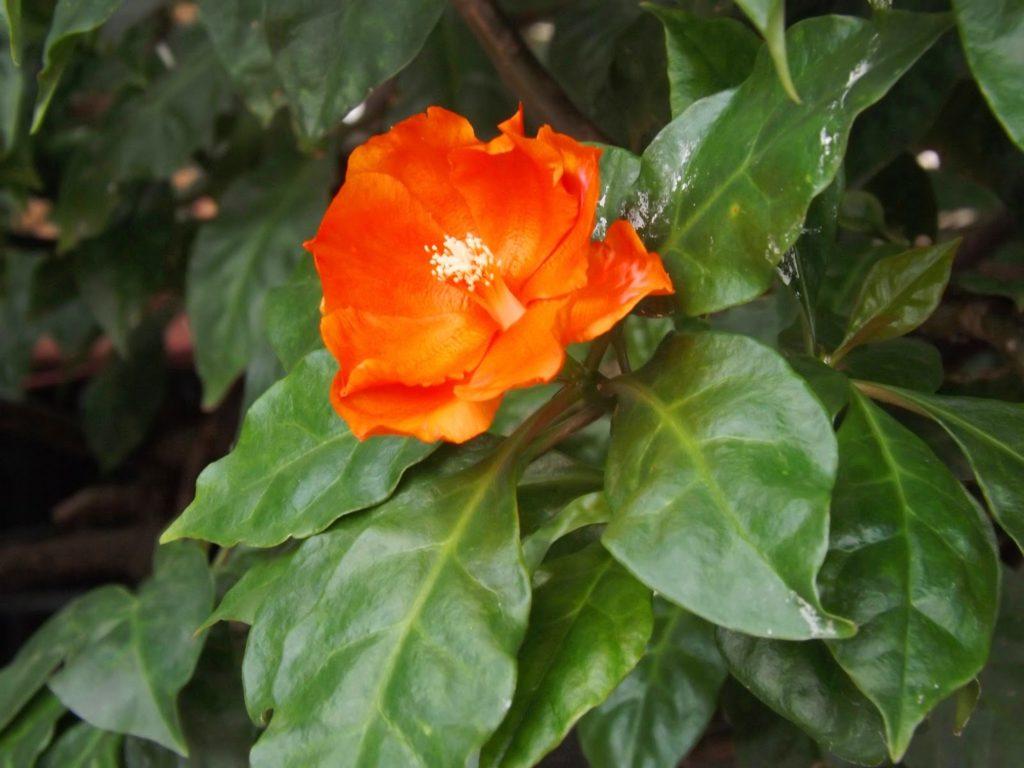 Оранжевый цветок, зеленая листва