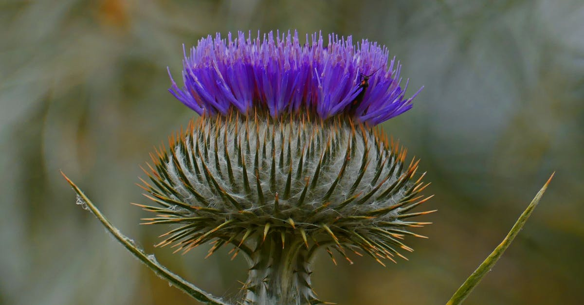 Цветы чертополоха