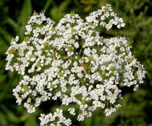много маленьких белых цветов, зелень