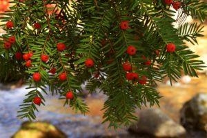 Ягоды красные, ветки, тонкие листья - иголки