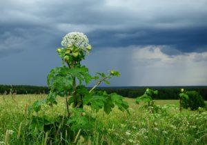 поле, высокое растение, небо