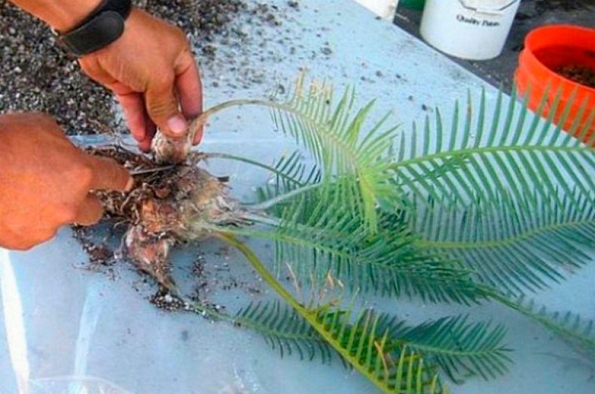 Пальма Цикас размножение