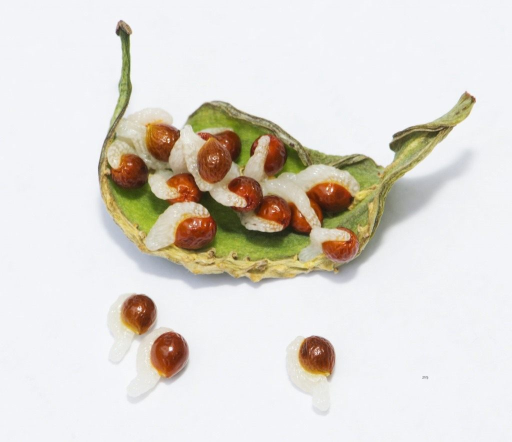 Сангвинария размножение семенами