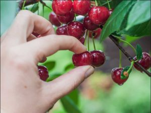 Рука, вишни, капли
