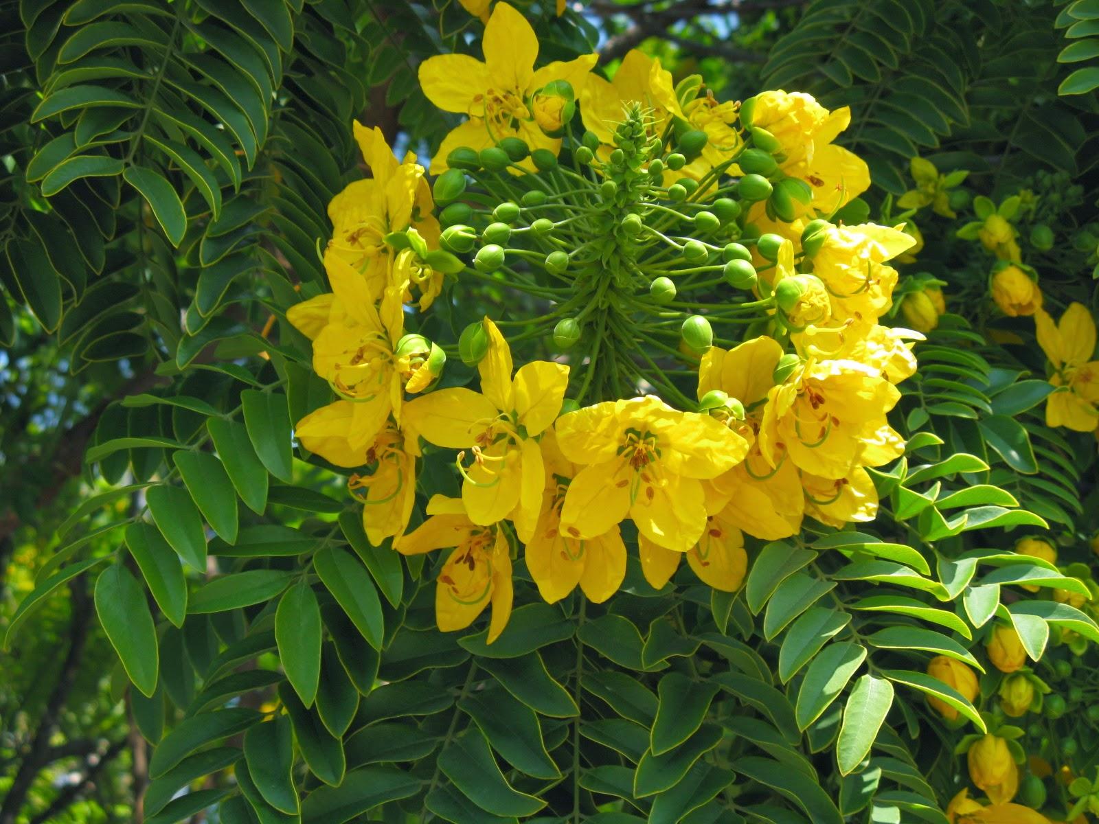 Сенна растение