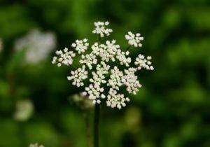 маленькие белые цветы, стебель