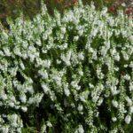 Сорт с белыми цветками и зелеными листовыми пластинами