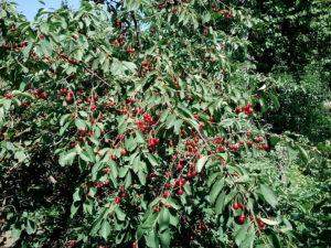 Дерево с вишнями