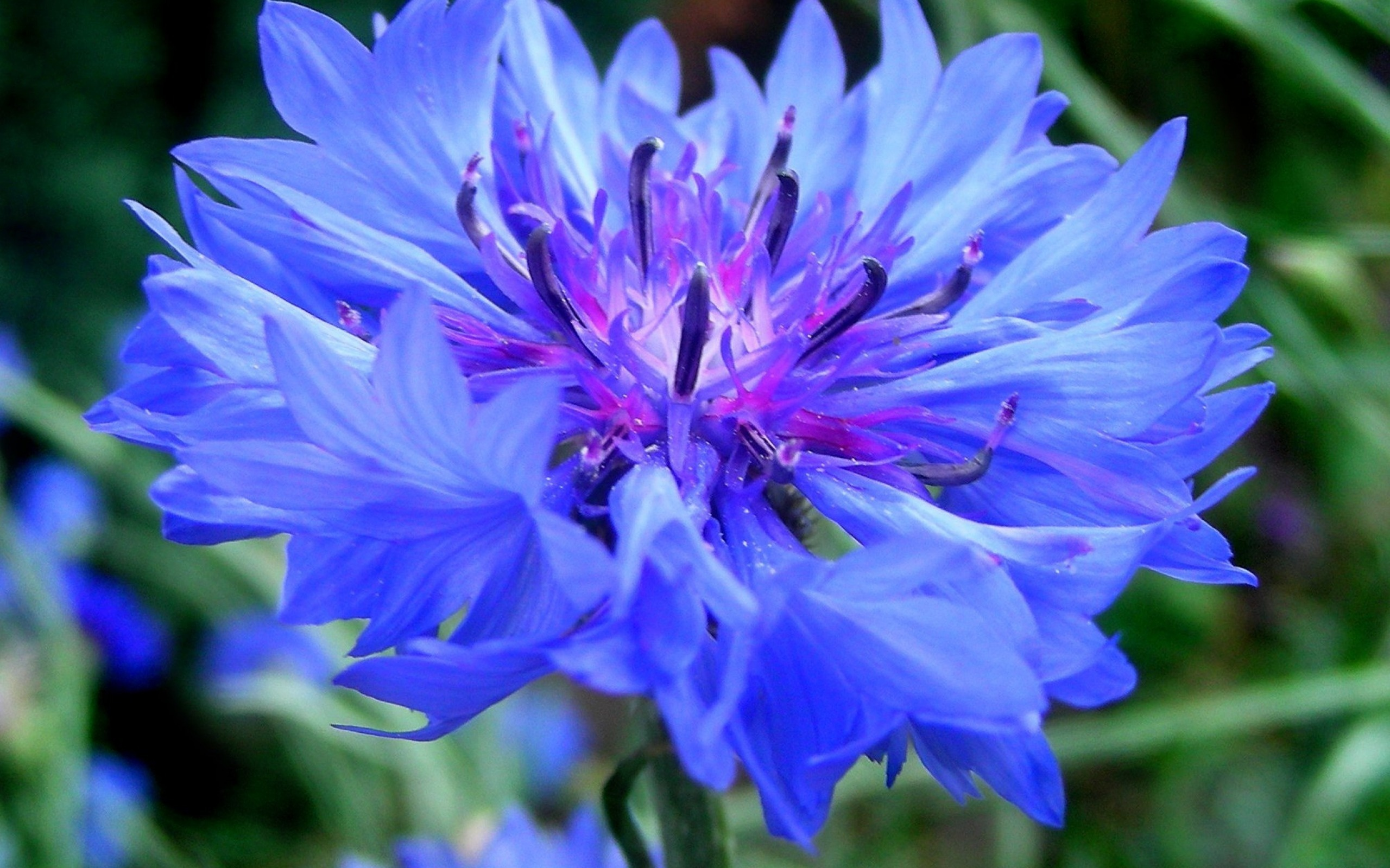 цветы похожие на василек