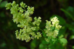 Растение с желтыми цветами