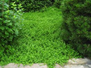 зеленое растение, ель, дерево