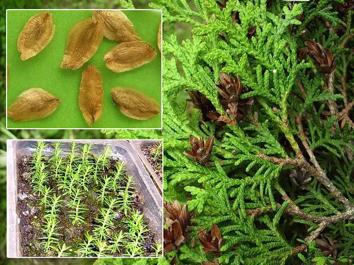Посадка биоты семенами