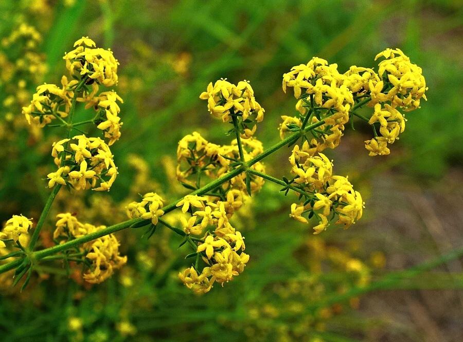 Цветки подмаренника