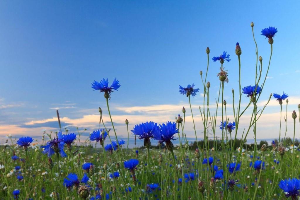 ВАСИЛЕК СИНИЙ - лечебные свойства растения, описание и фото