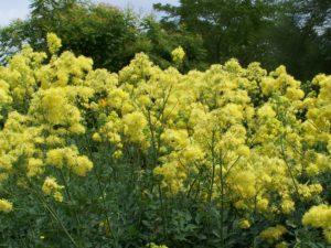 Желтые цветы, поле