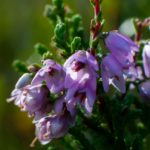 Вереск цветок